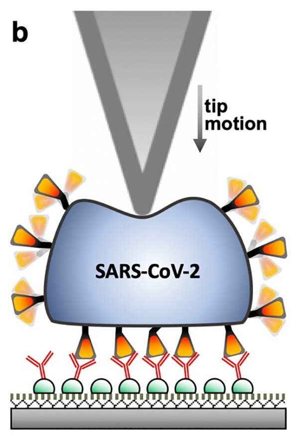 Coronavirus liên tục gây ngạc nhiên khi được phát hiện có khả năng chịu nhiệt, tự phục hồi và rất đàn hồi - Ảnh 1.