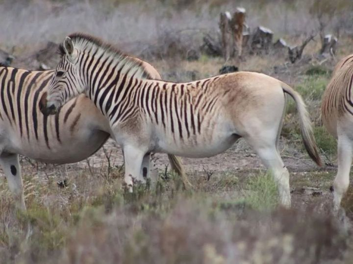 Đã tuyệt chủng một thế kỷ, liệu loài ngựa vằn tàn lụi này có thể thực sự sống lại? - Ảnh 13.