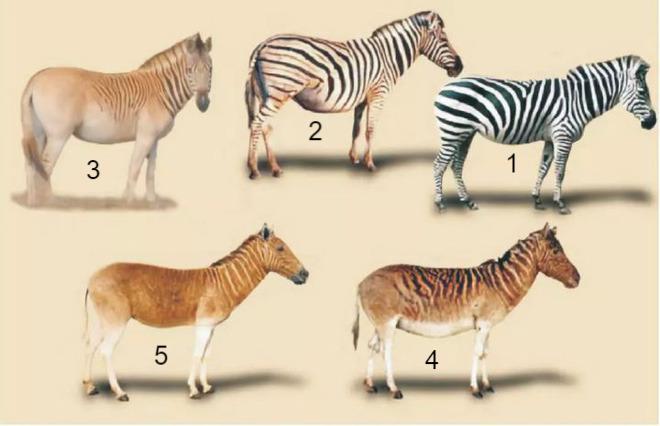 Đã tuyệt chủng một thế kỷ, liệu loài ngựa vằn tàn lụi này có thể thực sự sống lại? - Ảnh 12.