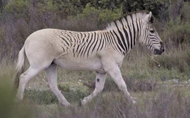 Đã tuyệt chủng một thế kỷ, liệu loài ngựa vằn tàn lụi này có thể thực sự sống lại? - Ảnh 2.
