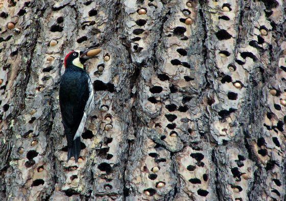 Loài chim này lập liên minh để đánh nhau giành lãnh thổ, và hàng xóm bay đến từ khắp nơi để xem trộm - Ảnh 1.