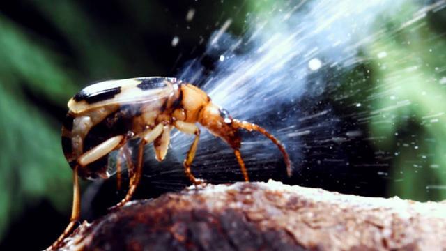 Carabidae: Loài bọ tí hon có thể thả ra những quả bom nhiệt lên tới gần 100 độ C - Ảnh 2.