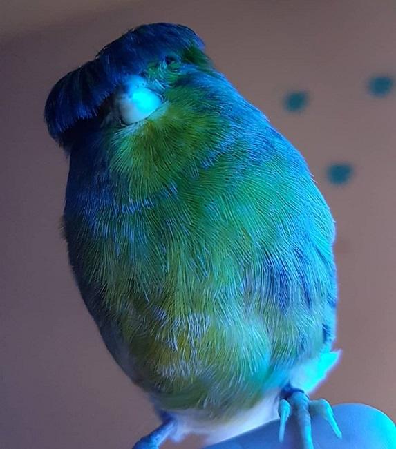 Gloster Canary: Loài chim kỳ lạ sở hữu quả đầu moi cực chất - Ảnh 2.