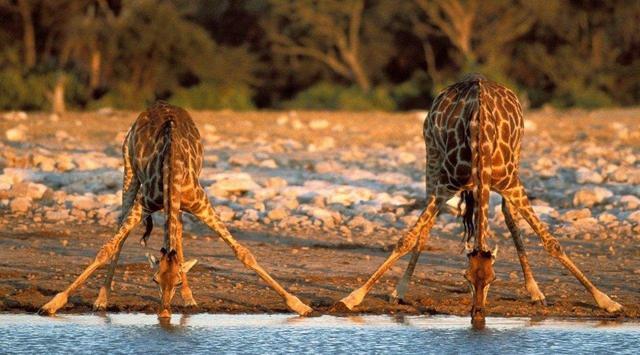 Tại sao những động vật như kỳ lân và Gryphon không tồn tại, nhưng những động vật như hươu cao cổ thì có? - Ảnh 1.