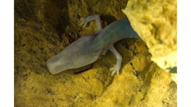 Loài kỳ giông mù kỳ lạ, mất 10 năm để ăn một bữa ăn, 12 năm để giao phối nhưng có thể sống cả thế kỷ - Ảnh 3.