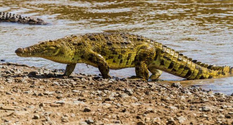 Loài cá sấu hiện đại vẫn có ngoại hình y hệt tổ tiên của chúng cách đây 200 triệu năm trước? - Ảnh 2.