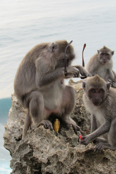 Những con khỉ trộm cướp ở Indonesia ngày càng thông minh, có thể nhận biết món đồ giá trị cao để lấy rồi đòi tiền chuộc - Ảnh 1.