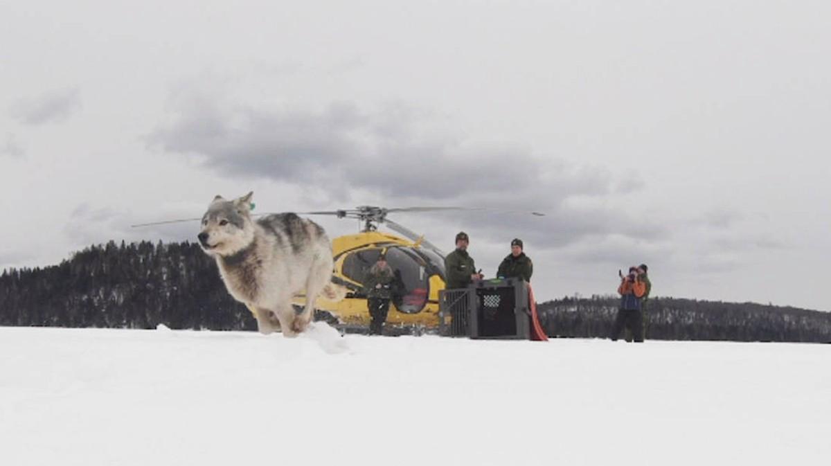 Những con sói Canada được cưỡi máy bay đột nhập vào Michigan để thực hiện một nhiệm vụ vô cùng đặc biệt - Ảnh 2.