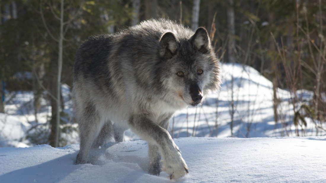 Những con sói Canada được cưỡi máy bay đột nhập vào Michigan để thực hiện một nhiệm vụ vô cùng đặc biệt - Ảnh 4.