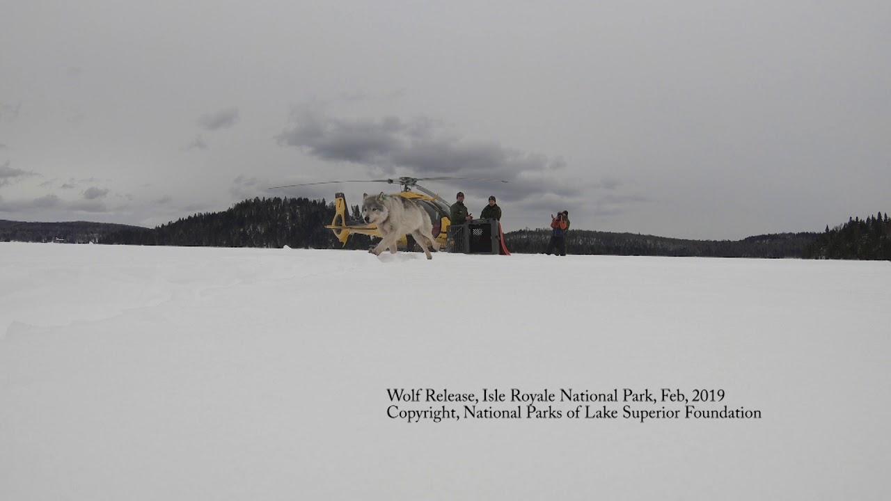 Những con sói Canada được cưỡi máy bay đột nhập vào Michigan để thực hiện một nhiệm vụ vô cùng đặc biệt - Ảnh 3.