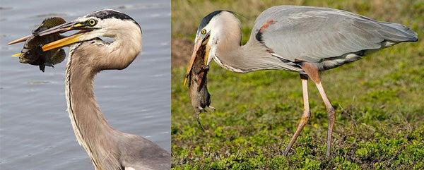 Đây là loài chim có thể nuốt chửng cá sấu và những bữa ăn vô cùng kinh dị của chúng - Ảnh 4.