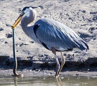 Đây là loài chim có thể nuốt chửng cá sấu và những bữa ăn vô cùng kinh dị của chúng - Ảnh 3.
