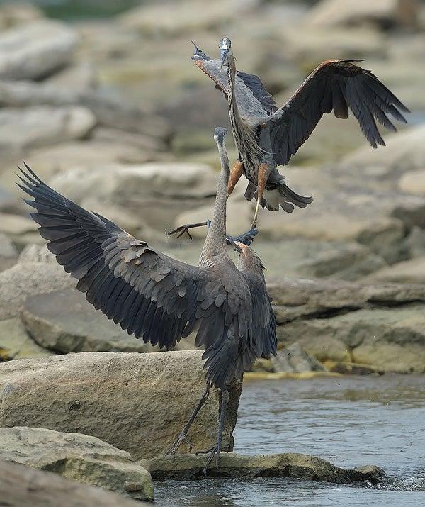 Đây là loài chim có thể nuốt chửng cá sấu và những bữa ăn vô cùng kinh dị của chúng - Ảnh 6.