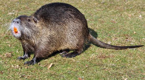 Loài động vật nhỏ bé đầy lông lá này bỗng chốc trở thành tội phạm bị truy nã vì sự ăn tàn phá hại của mình - Ảnh 5.