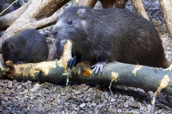 Loài động vật nhỏ bé đầy lông lá này bỗng chốc trở thành tội phạm bị truy nã vì sự ăn tàn phá hại của mình - Ảnh 4.
