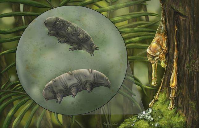 Phát hiện ra con gấu nước trong hổ phách 16 triệu năm tuổi, nguyên vẹn bậc nhất từ trước tới nay - Ảnh 2.