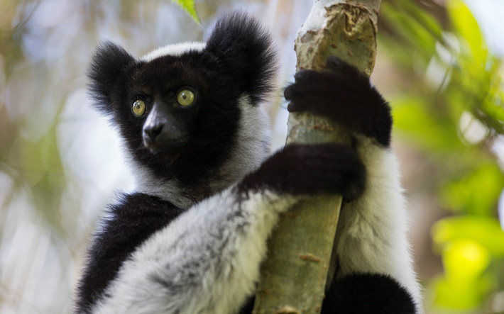 Loài vượn cáo ở quốc đảo Madagascar có thể hát We Will Rock You, cung cấp cho khoa học cái nhìn sâu hơn vào nguồn gốc âm nhạc