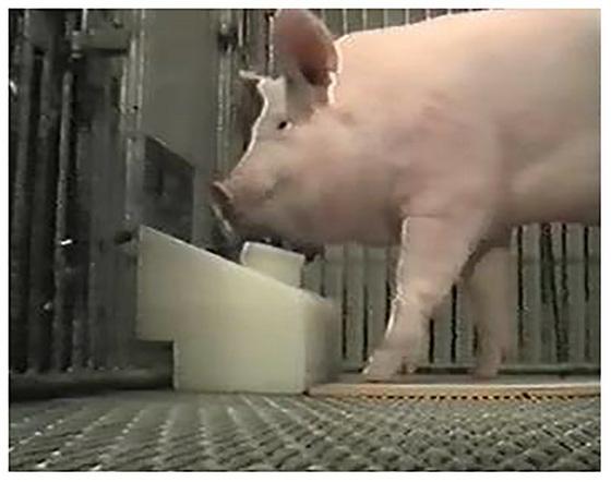 Đừng so sánh đồng đội như lợn, vì hóa ra lợn cũng có thể chơi game - Ảnh 3.