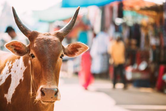 Tuyên truyền khoa học kiểu Ấn Độ: Sữa bò chứa vàng kim loại, phân bò chặn được bức xạ hạt nhân - Ảnh 1.