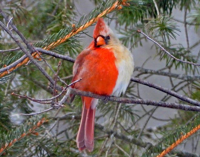 Phát hiện con chim nửa đực nửa cái cực kỳ quý hiếm - Ảnh 1.