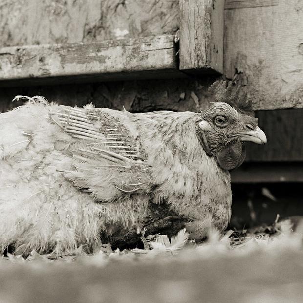 Chùm ảnh những con vật được cho phép sống đến già gây ám ảnh lạ kỳ: Khi các mảnh đời ngắn ngủi được ban tặng sự sống buồn tủi - Ảnh 6.
