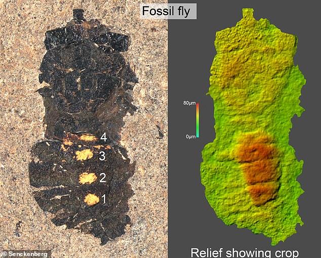 47 triệu năm triệu năm về trước, bữa ăn của con ruồi có những gì? - Ảnh 3.
