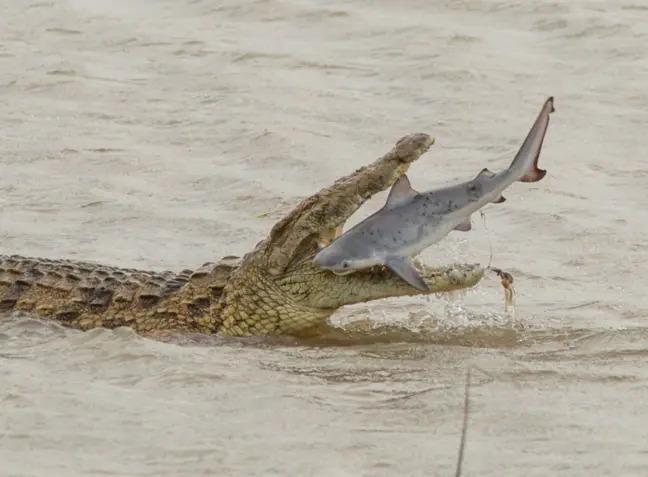 Cá sấu khổng lồ nuốt sống cá mập, khẳng định vị thế bạo chúa tham ăn dưới nước - Ảnh 1.