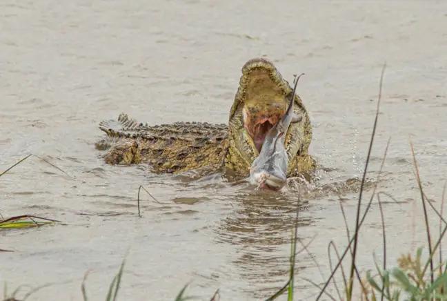 Cá sấu khổng lồ nuốt sống cá mập, khẳng định vị thế bạo chúa tham ăn dưới nước - Ảnh 2.