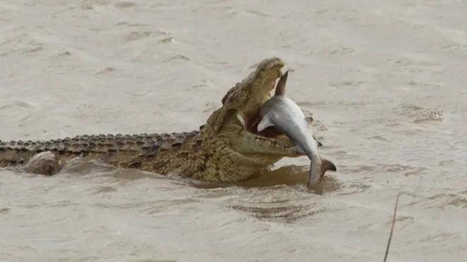 Cá sấu khổng lồ nuốt sống cá mập, khẳng định vị thế bạo chúa tham ăn dưới nước - Ảnh 3.