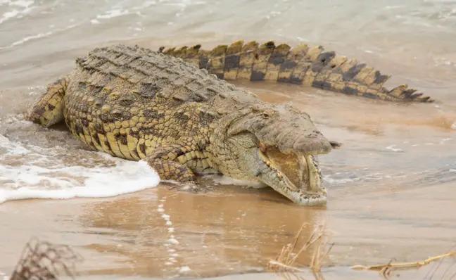 Cá sấu khổng lồ nuốt sống cá mập, khẳng định vị thế bạo chúa tham ăn dưới nước - Ảnh 5.