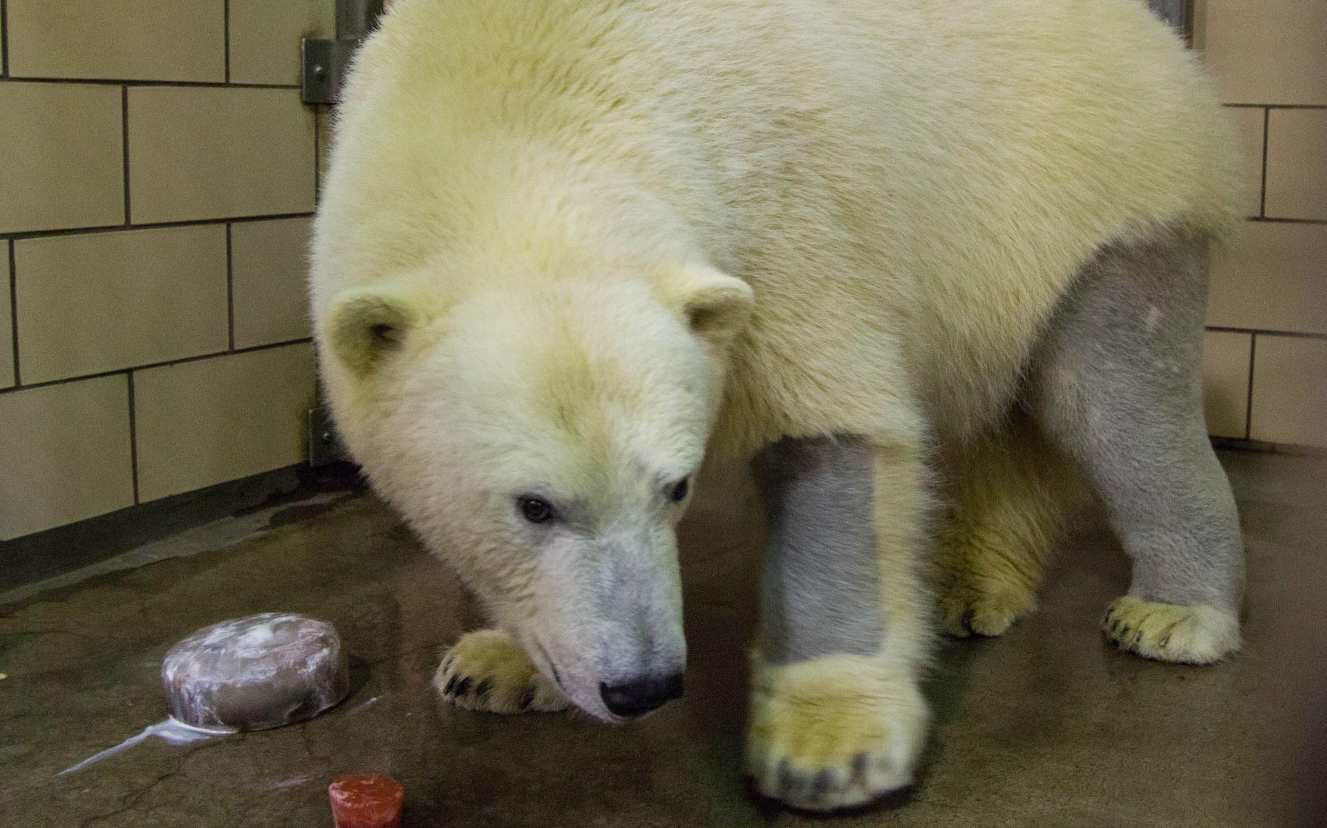 Gấu trắng có da màu đen? Những sự thật ít người biết về các loài động vật
