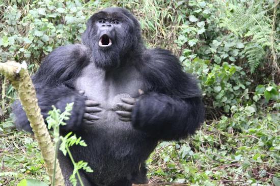 Sau 500 lần quan sát khỉ đột đập ngực, các nhà khoa học tìm ra câu trả lời tại sao chúng lại thường xuyên làm vậy - Ảnh 3.