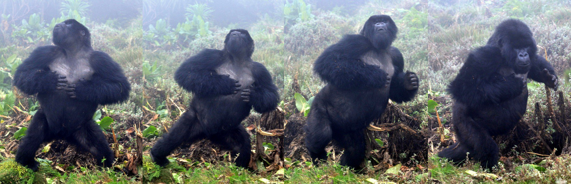 Sau 500 lần quan sát khỉ đột đập ngực, các nhà khoa học tìm ra câu trả lời tại sao chúng lại thường xuyên làm vậy - Ảnh 1.