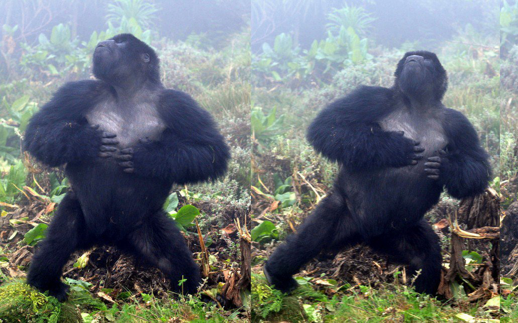 Sau 500 lần quan sát khỉ đột đập ngực, các nhà khoa học tìm ra câu trả lời tại sao chúng lại thường xuyên làm vậy