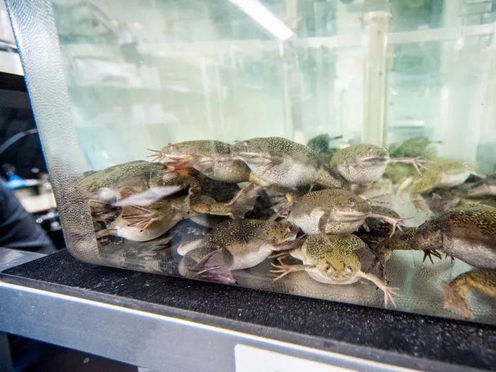 Vì sử dụng ếch để thử thai, con người có thể đã gián tiếp hủy diệt gần một trăm loài lưỡng cư - Ảnh 9.