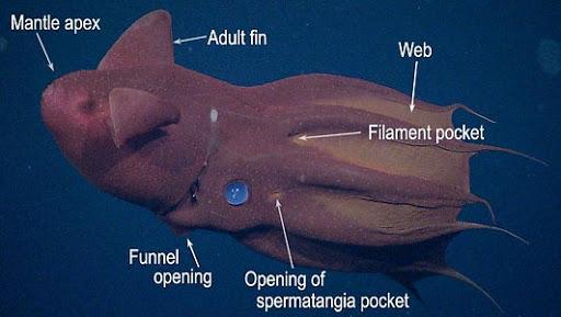 Vampyroteuthis infernalis: Loài ma cà rồng dưới đáy biển sâu - Ảnh 2.