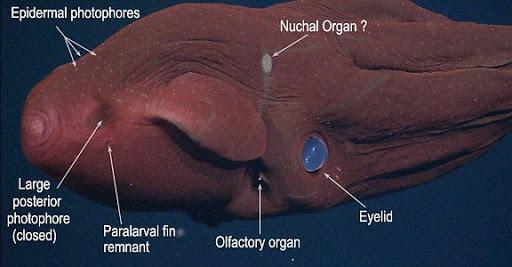 Vampyroteuthis infernalis: Loài ma cà rồng dưới đáy biển sâu - Ảnh 3.