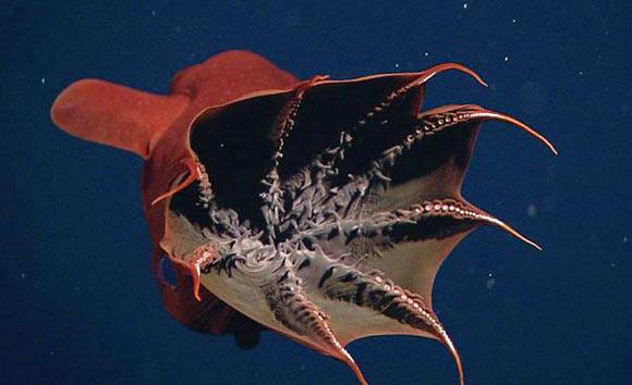 Vampyroteuthis infernalis: Loài ma cà rồng dưới đáy biển sâu - Ảnh 5.