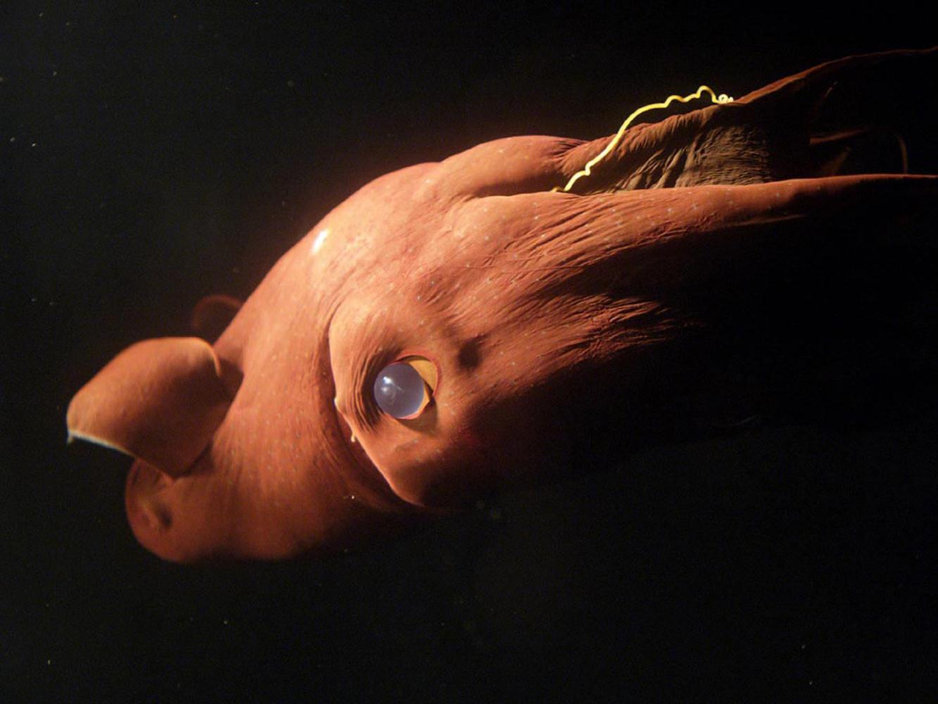 Vampyroteuthis infernalis: Loài ma cà rồng dưới đáy biển sâu - Ảnh 7.