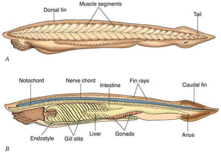 Không đầu, không tim, không xương, cá Văn Xương có thể tồn tại được suốt 500 triệu năm cho tới tận ngày nay - Ảnh 4.