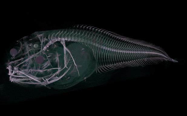Loài cá mới được tìm thấy ở độ sâu 8.000 mét dưới đáy đại dương, cơ thể chúng sẽ tan chảy ngay khi lên mặt biển