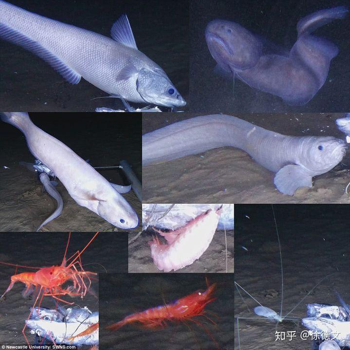 Loài cá mới được tìm thấy ở độ sâu 8.000 mét dưới đáy đại dương, cơ thể chúng sẽ tan chảy ngay khi lên mặt biển - Ảnh 4.