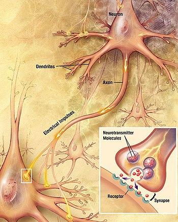 Não bộ của bạn có bao nhiêu neuron thần kinh? Và chúng đang làm gì trong đó? - Ảnh 4.