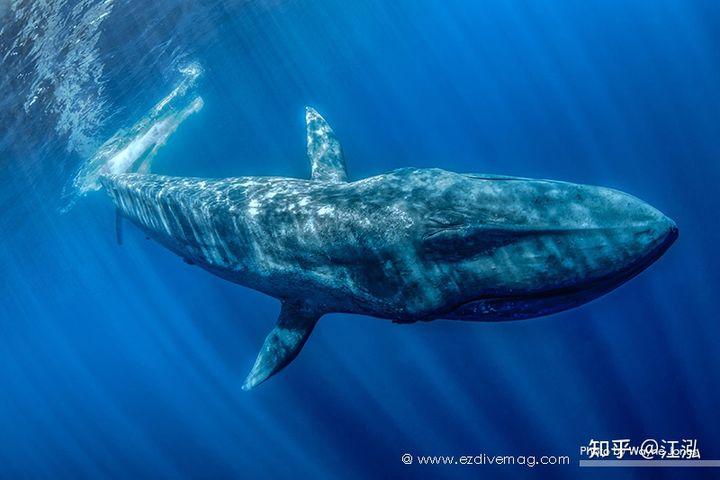 Tại sao lỗ mũi của cá voi lại nằm trên đỉnh đầu? - Ảnh 8.