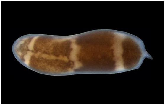 Đây có thể là loài động vật có khả năng tái sinh nhiều nhất trên hành tinh và nó có thể phát triển ngay cả khi chỉ còn 1/200.000 cơ thể - Ảnh 10.