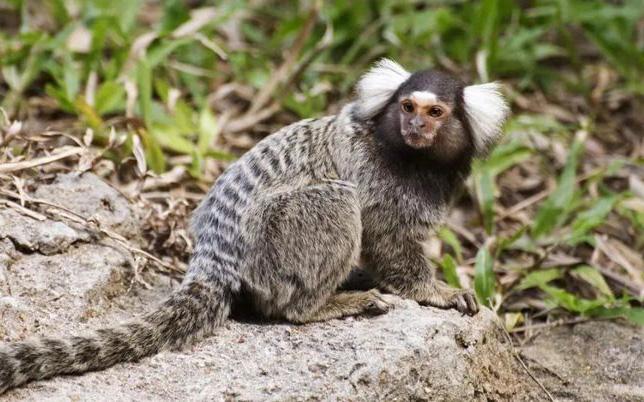 Gen con người tiêm vào khỉ đã khiến cho bộ não của chúng đã phát triển to hơn và khỏe hơn