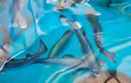 Cá hồi đang trở nên nghiện ngập vì nước thải con người đổ ra tự nhiên chứa dư lượng ma túy đá - Ảnh 2.