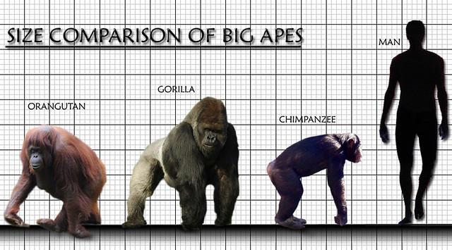 Một bầy tinh tinh ở Châu Phi đã biết tấn công bài bản vào một bầy khỉ đột, con người hãy cẩn thận - Ảnh 4.