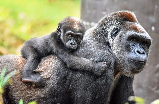 Một bầy tinh tinh ở Châu Phi đã biết tấn công bài bản vào một bầy khỉ đột, con người hãy cẩn thận - Ảnh 5.