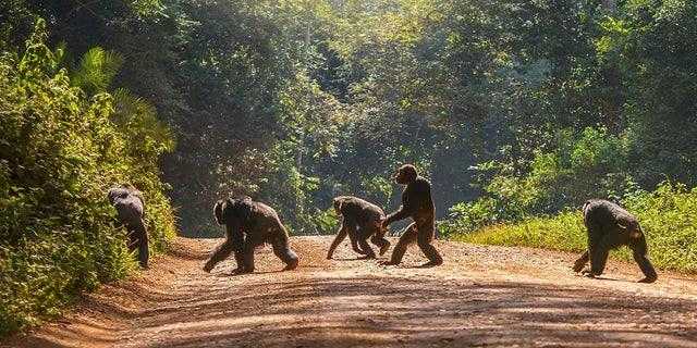 Một bầy tinh tinh ở Châu Phi đã biết tấn công bài bản vào một bầy khỉ đột, con người hãy cẩn thận - Ảnh 6.